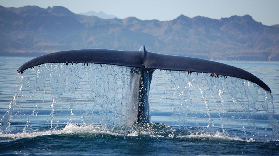 FOTOEXPEDICE VELRYBY (c) great whale conservancy